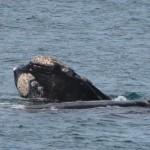 walvis, gezien vanaf de kust
