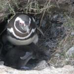 pinguïn met 2 jongen
