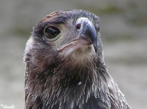 valk/falcon