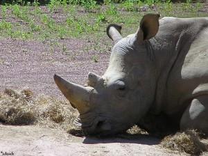 neushoorn/rhinoceros