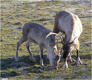 rendieren/reindeer