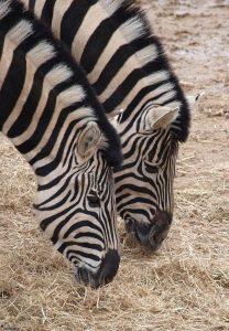 Zebra's in de dierentuin