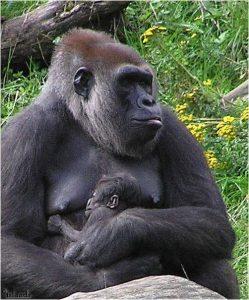 Gorilla met jong in de dierentuin