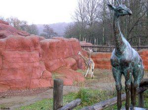 Giraffen in de winter