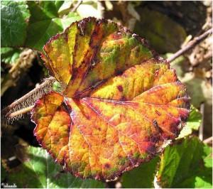 blad/leaf