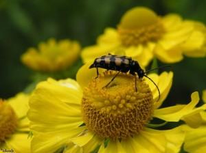 kever/beetle