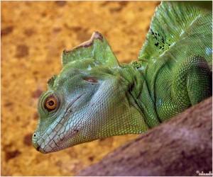 leguaan/iguana