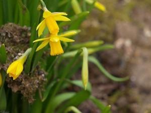 narcis/daffodil