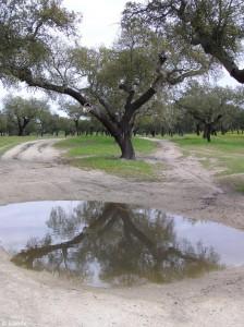 kurkeik/cork oak