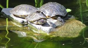 schildpadden/turtles