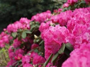 rhododendrons/rhododrendons