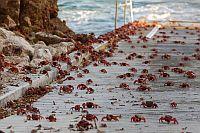 Krabben Weihnachtsinsel