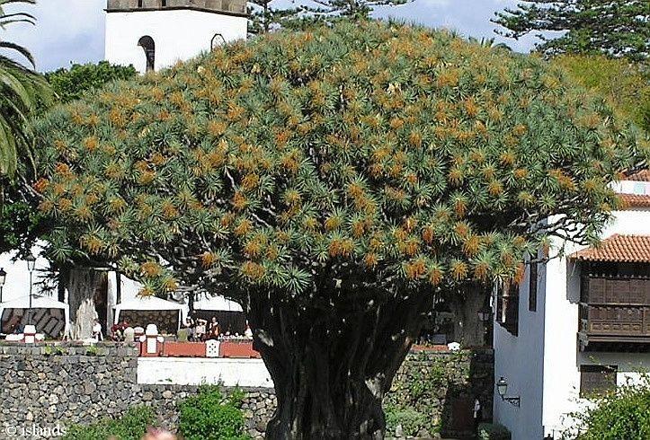 kanarischer drachenbaum auf teneriffa islands surflog. Black Bedroom Furniture Sets. Home Design Ideas