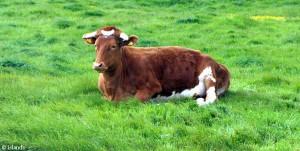 Die Guernsey-Kuh