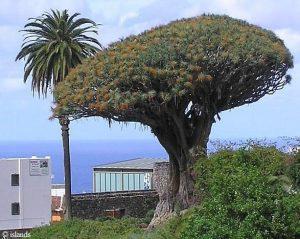 Icod de Los Vinos und sein Drachenbaum